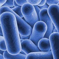 Bakterienstämme, schematisch